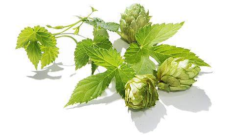 ビールの原料【ホップ】を知れば、もっとビールを楽しめる!のサムネイル画像